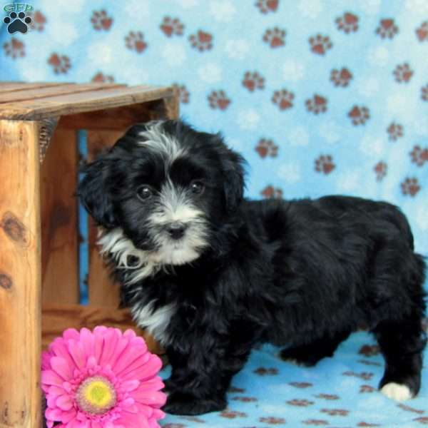 Stash, Havanese Puppy