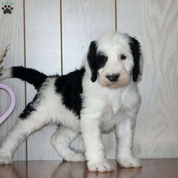 Sunshine - Sheepadoodle Puppy For Sale in Pennsylvania