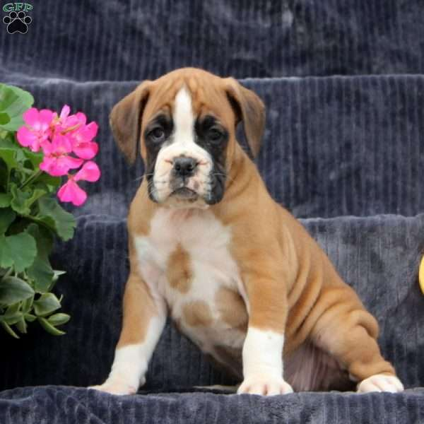 Tilly, Boxer Puppy