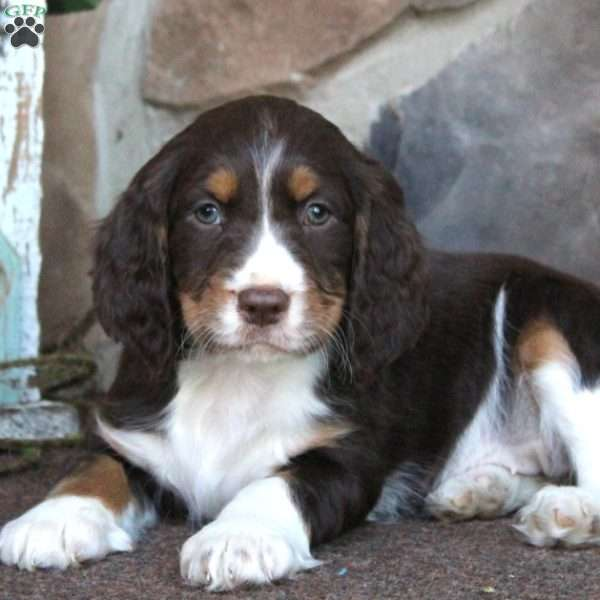 Tori, English Springer Spaniel Puppy