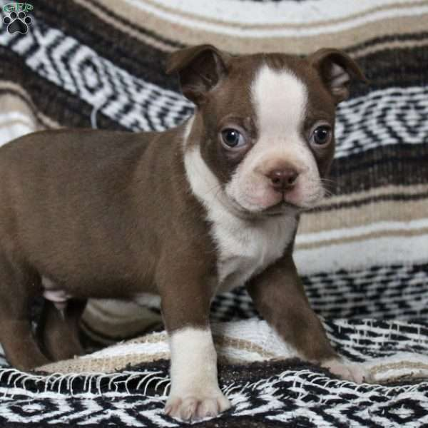 Victory, Boston Terrier Puppy