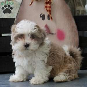 Wilma, Shih-Poo Puppy
