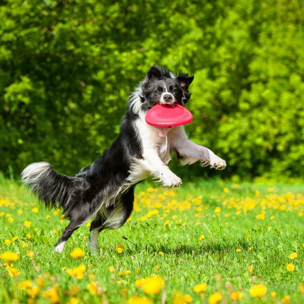 border collie catching a frisbee