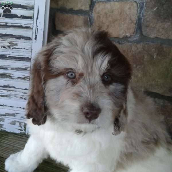 Daisy-Miniature - Newfypoo Puppy For Sale in Ohio