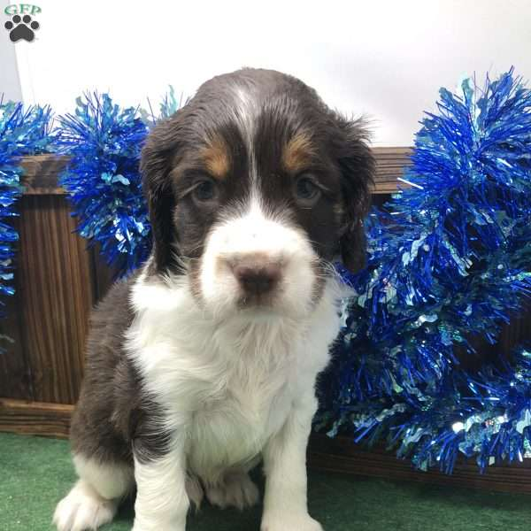 Easton, English Springer Spaniel Puppy