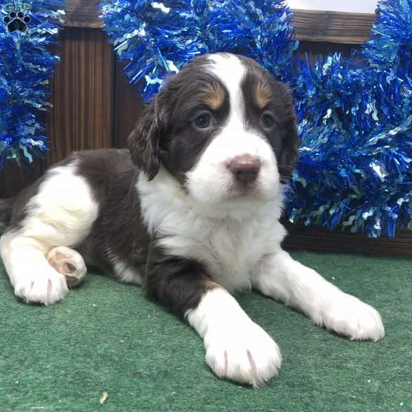 Elliot, English Springer Spaniel Puppy