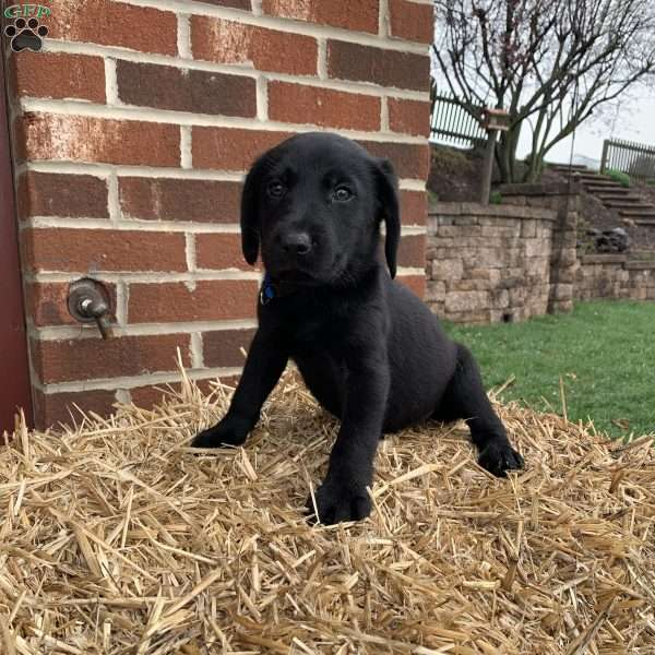 Owen, Black Labrador Retriever Puppy