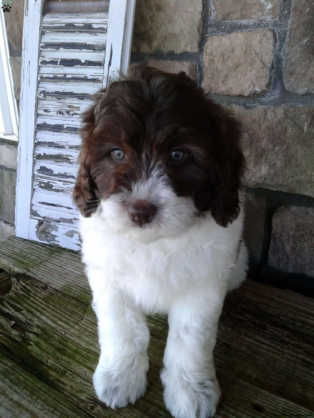 Molly Miniature Newfypoo Puppy For Sale In Ohio