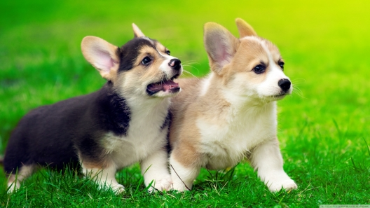 Mini Corgi Puppies For Sale >> Pembroke Welsh Corgi Puppies For Sale Greenfield Puppies