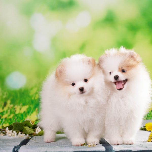 two pomeranian puppies outside