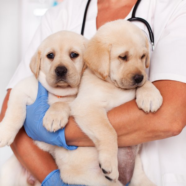 vet holding two yellow lab puppies