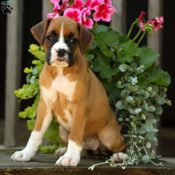 Ashes, Boxer Puppy
