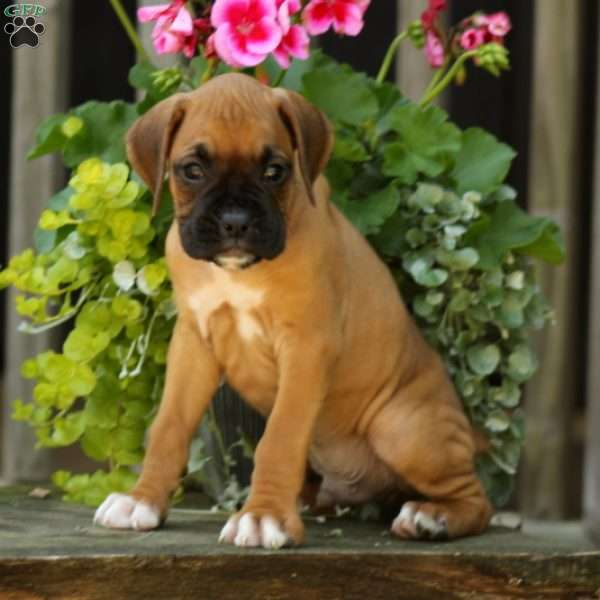 Avery, Boxer Puppy