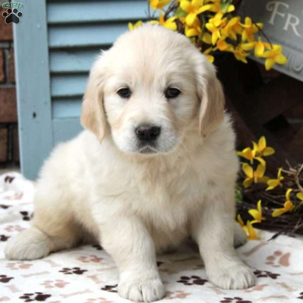 Beauty, English Cream Golden Retriever Puppy