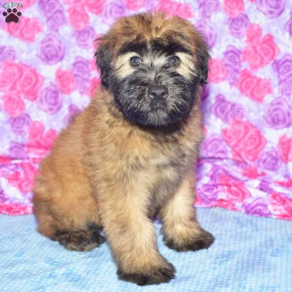 Bella Soft Coated Wheaten Terrier Puppy For In Ohio