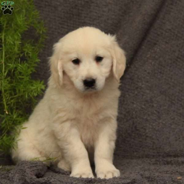 Bella, English Cream Golden Retriever Puppy
