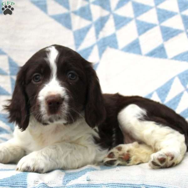 Bentley, English Springer Spaniel Puppy
