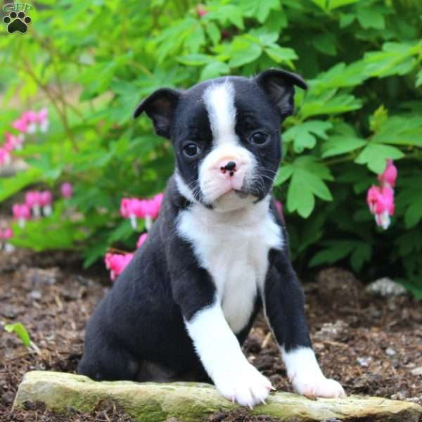 Biscuit, Boston Terrier Puppy