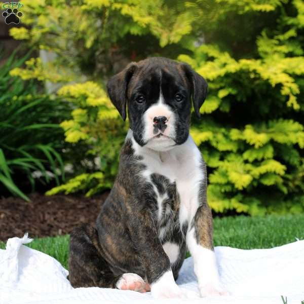 Buster, Boxer Puppy