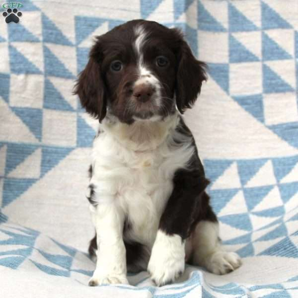 Buttercup, English Springer Spaniel Puppy