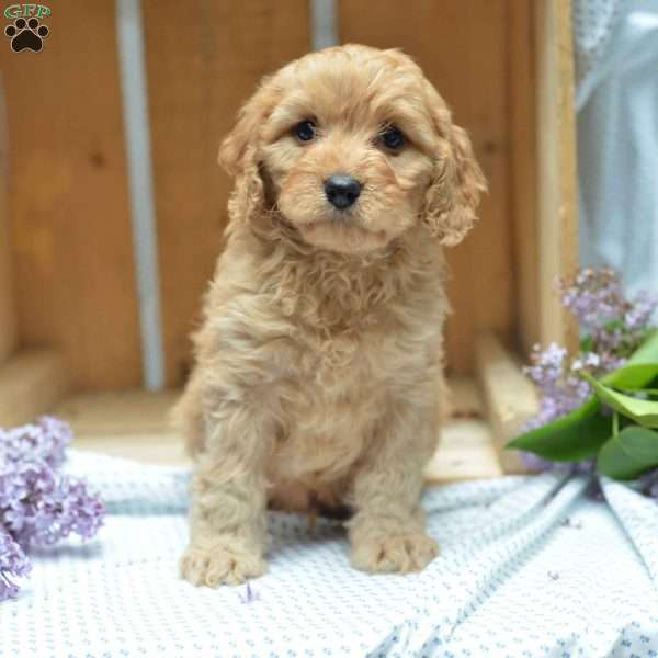 Ceaser - Cavapoo Puppy For Sale in Ohio