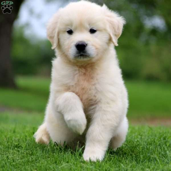 Cody, English Cream Golden Retriever Puppy
