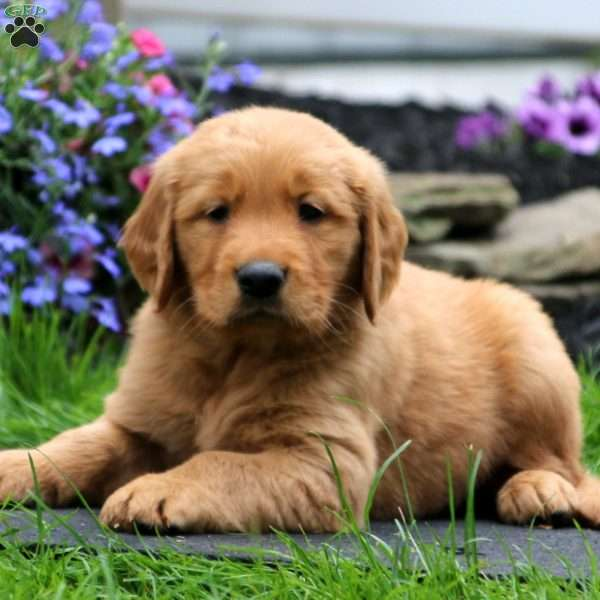 Dillon, Golden Retriever Puppy