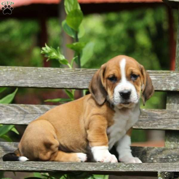 Heather - English Bully Basset Puppy For Sale in Pennsylvania