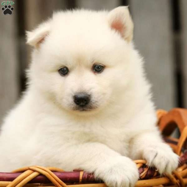 Hunter - Pomsky Puppy For Sale in Illinois
