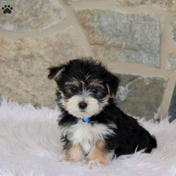 Iris - Morkie / Yorktese Puppy For Sale in Pennsylvania