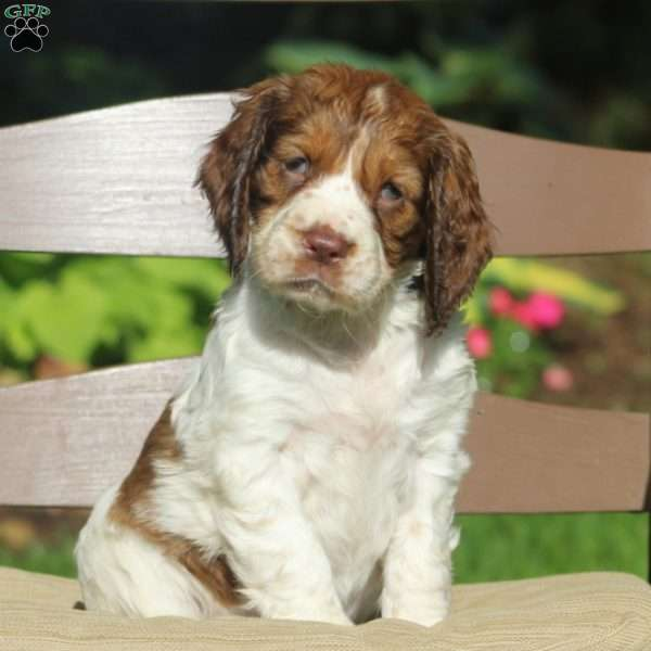 Jade, English Springer Spaniel Puppy