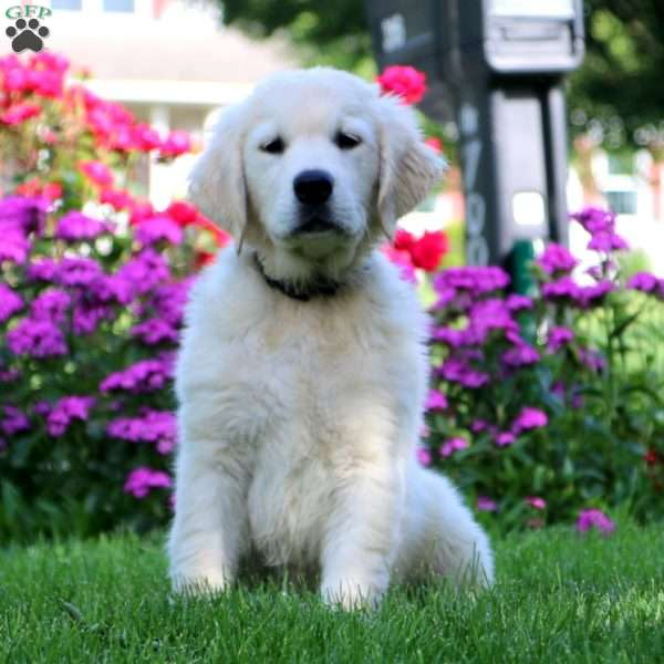 Jaden, English Cream Golden Retriever Puppy