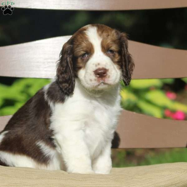 James, English Springer Spaniel Puppy