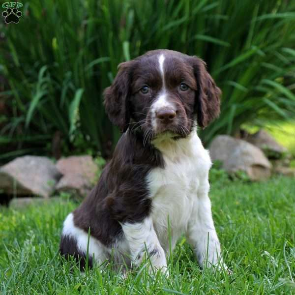 Jet, English Springer Spaniel Puppy