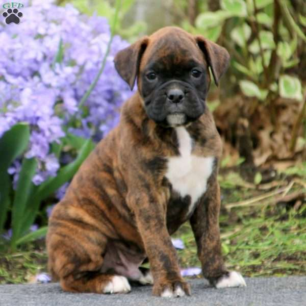 Kendall, Boxer Puppy