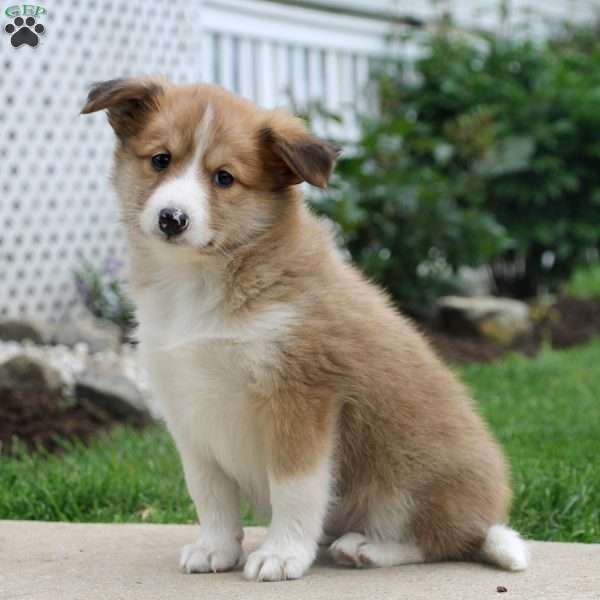 Layla, Sheltie Mix Puppy