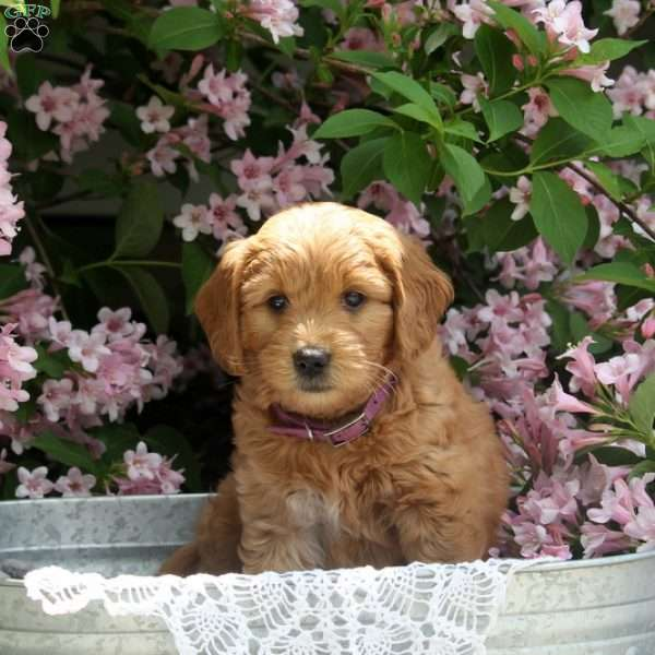 Lesley - Mini Goldendoodle Puppy For Sale in Pennsylvania