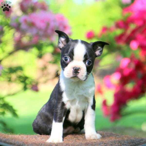 Marble, Boston Terrier Puppy