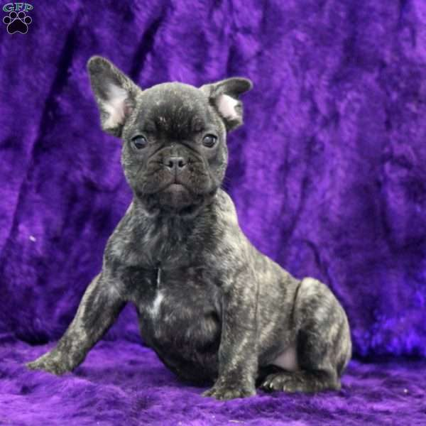 Milkyway - French Bulldog Mix Puppy For Sale in Pennsylvania