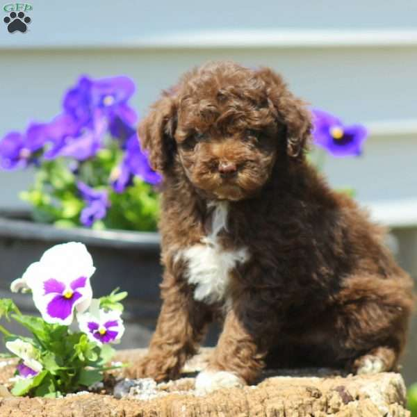Moose Tracks, Toy Poodle Puppy