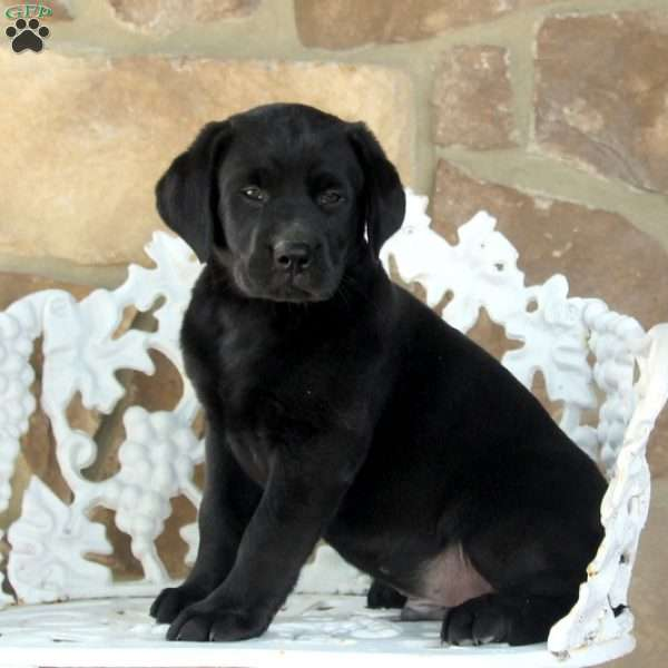 Nike, Black Labrador Retriever Puppy