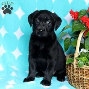 Noelle, Black Labrador Retriever Puppy