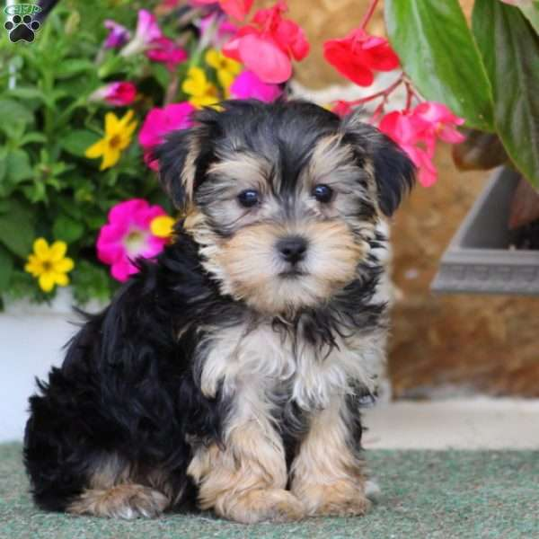 Pluto - Morkie / Yorktese Puppy For Sale in Pennsylvania