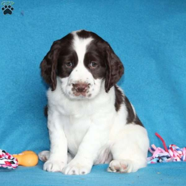 Poppy, English Springer Spaniel Puppy