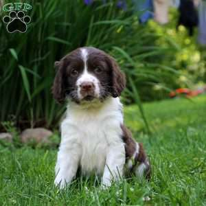 Popsicle, English Springer Spaniel Puppy
