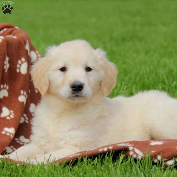 Posha, English Cream Golden Retriever Puppy