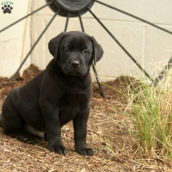 Ragnar, Black Labrador Retriever Puppy
