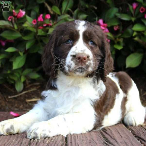 Samantha, English Springer Spaniel Puppy