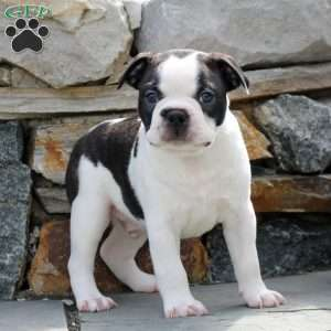 Samson, Boston Terrier Puppy