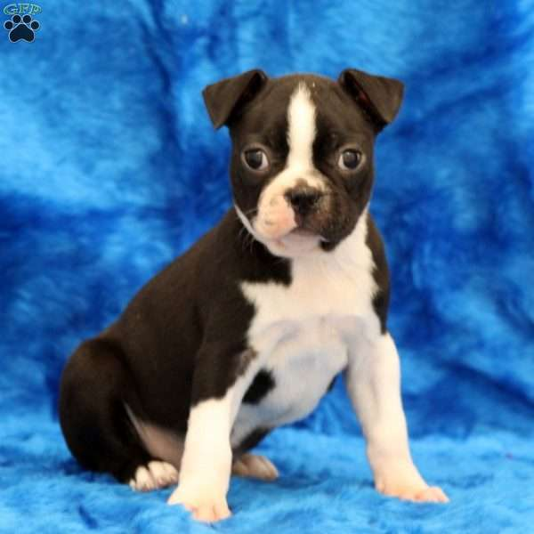 Sassy, Boston Terrier Puppy